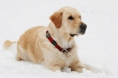 gelmuze-sniege